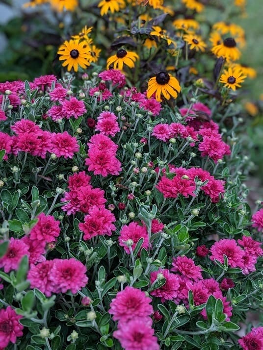 Replanting garden mums in fall